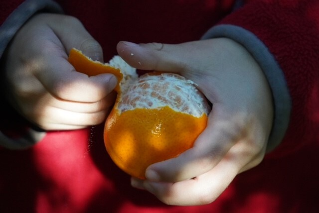 mandarins, pick your own, family fun, family day out, citrus fruit, sweet fruit, pick mandarins, fords farm mandarins, fun with kids, annual tradition, annual event, Hawkesbury trail, Wisemans Ferry