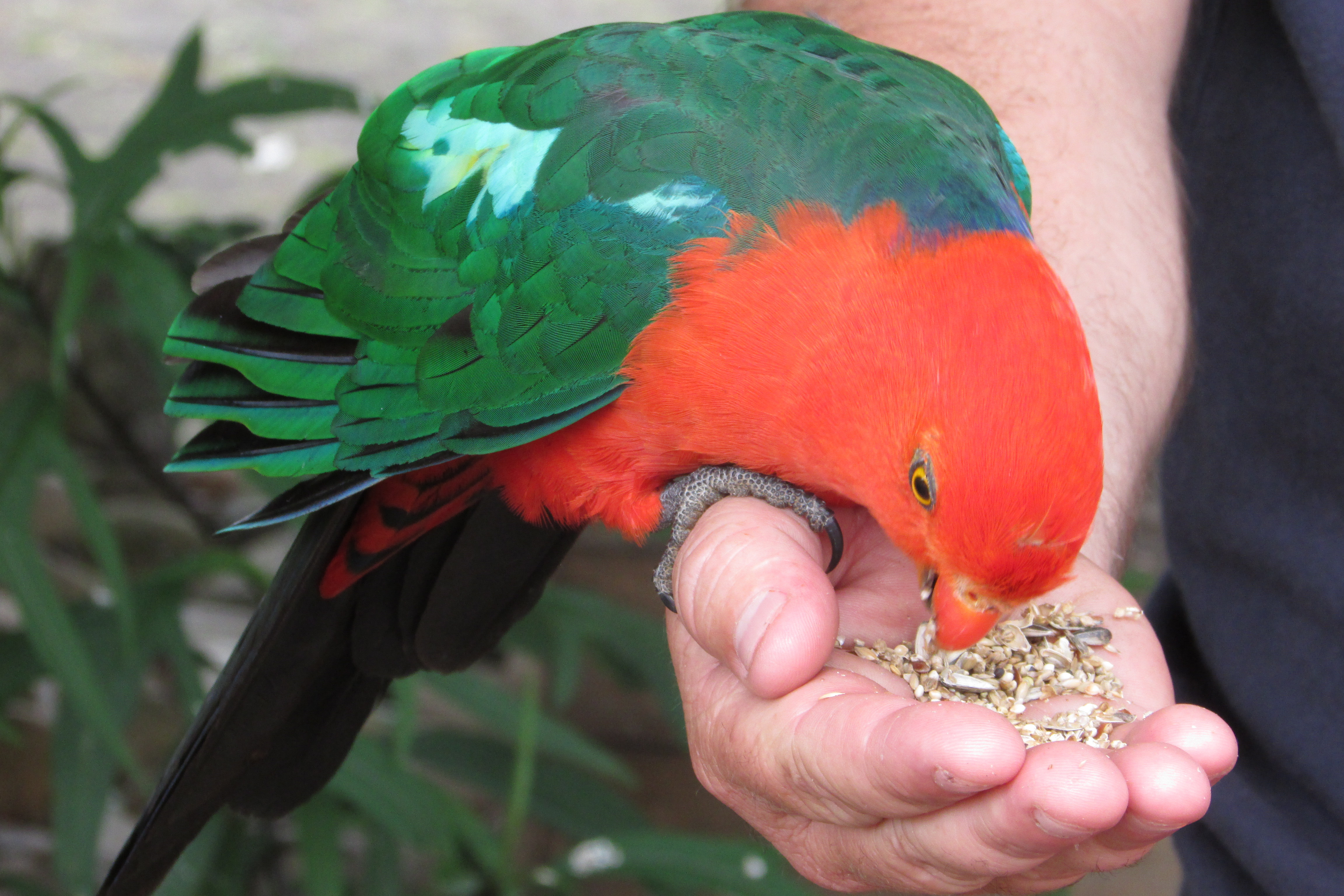 What to feed a parrot 56