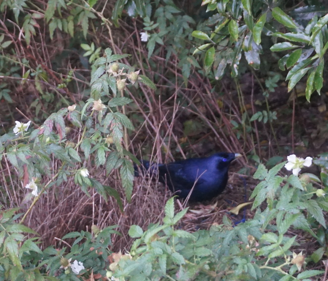 Satin bowerbird in his bower