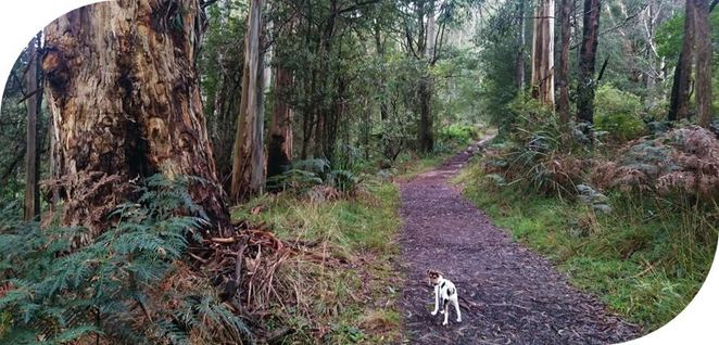 walking, trails, dandenong, ranges, dog, friendly, dogs, melbourne