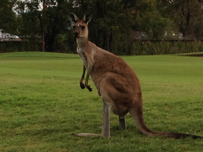 where to find wild kangaroos or emus in perth, swan valley, best place to see wild kangaroos & emus in perth,