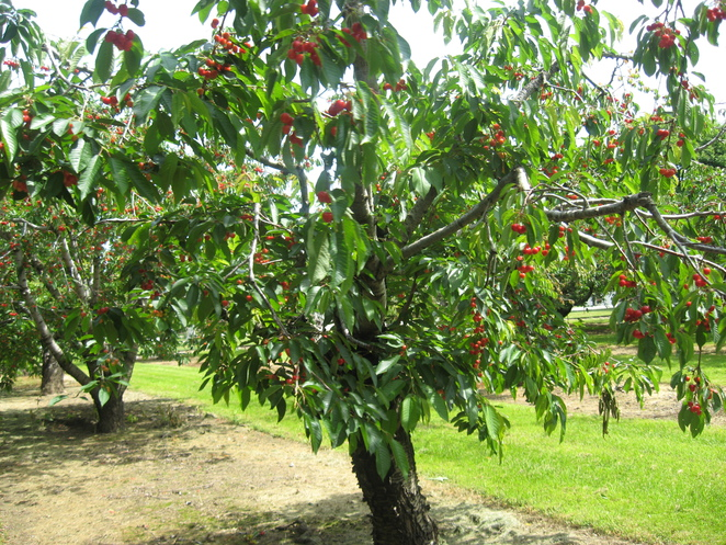 cherry, cherries, cherry tree, fruit, orchard, fruit farm, jam, cherry jam