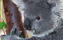 Dad, Father's Day, Environment, Koala, BBQ, Eco, Redlands,