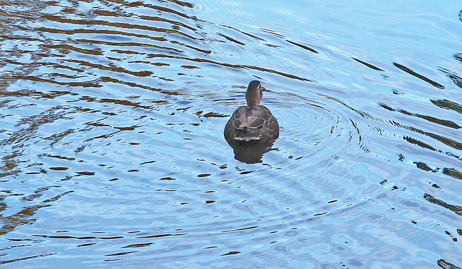 Duck on water.