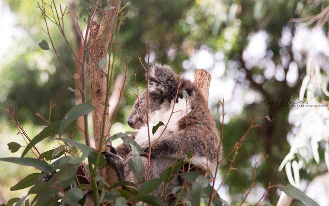michelle lake, koala, gorge wildlife park, adelaide