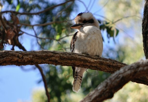 Wildlife such as laughing kookaburras call this bushland refuge home