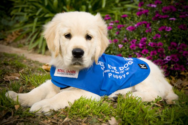 Seeing Eye Dogs, Seeing Eye Dogs Australia, Vision Australia, Vision Impaired, Blindness, Low Vision, Assistance Dogs, Charity, Open Day, Fundraiser, Labrador Puppy
