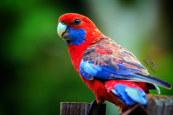 Tracie Louise, crimson rosella, bird, nature, wildlife, red, blue, feathers, tropical, exotic, Queensland, beautiful, parrot