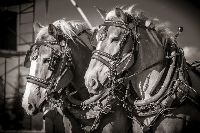 Victoria Melbourne Werribee Equestrian Horse Horses Heavy Clydesdale Competition