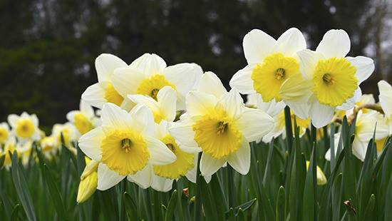 Daffodil Day is one August 28TH, 2015