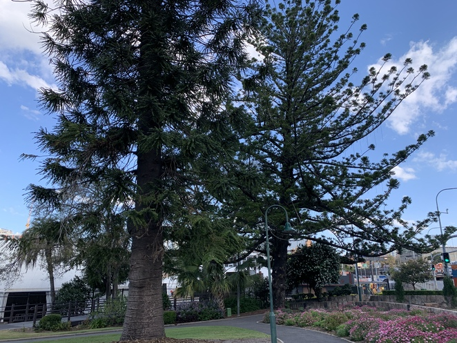 Bowen Park Brisbane, Bowen Park, Brisbane, Royal National Association Showgrounds, Rna, Acclimatization Society Gardens, Fig, Hoop pines, Edges, Trees, Flowers bed, Roses, Frangipani, Roses, White roses, Fluffy Purple flowers in bloom, Beautiful, beauty, bloom, colour, colourful, flowers, flowering, gardens, nature, bee, bees, peaceful, yellow, red, tranquil, Bandstand, toilet,