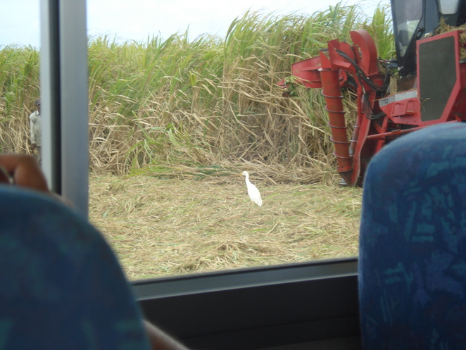 Egret among the sugar cane