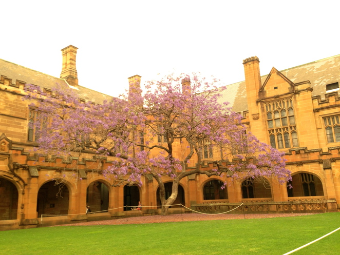 jacaranda, flowers, sydney university, campus, quadrangle, hogwarts, tree, a list of flowers
