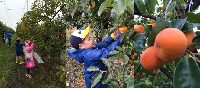 Persimmon picking cedar creek orchard thirlmere
