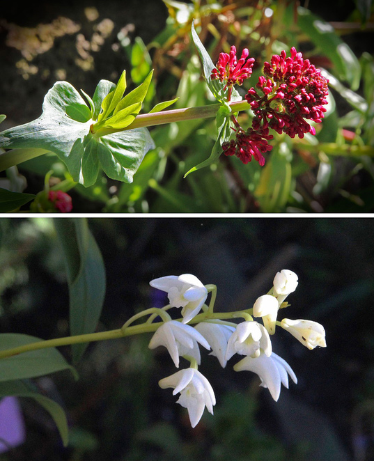 red buds & native orchid.