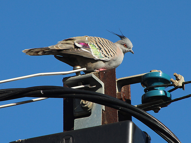 South Australian wildlife, South Australian tourism, Wildlife photography Wildlife stories, nature, Prospect council, Prospect, Walk, crested pigeon