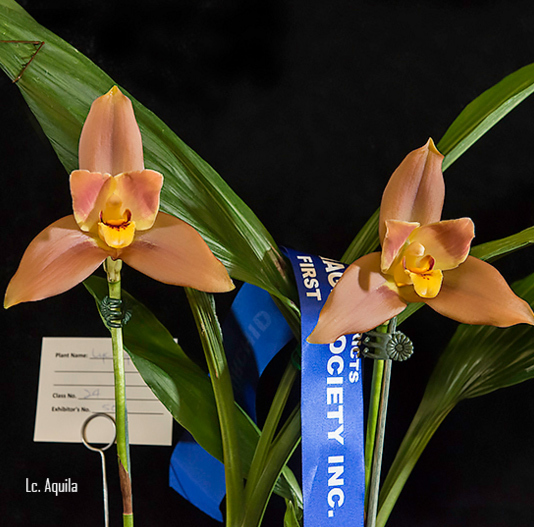 The Beaudesert Districts Orchid and Foliage Society, Autumn Show, orchids, queensland,