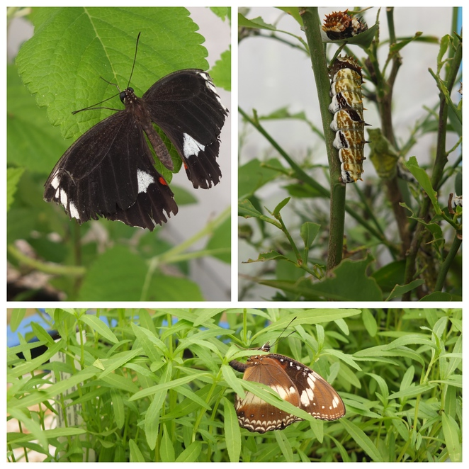 Butterfly Hill, Nambour, eco-tourism experience, diversity and life cycle of Australian butterflies and associated host plants, educational walk, Titan Stick Insect, Spiny Leaf Insect, perfect pet, activity for children, school holidays, gift shop, fun, affordable
