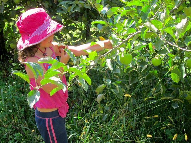Fruit picking, apple picking, Bilpin, NSW