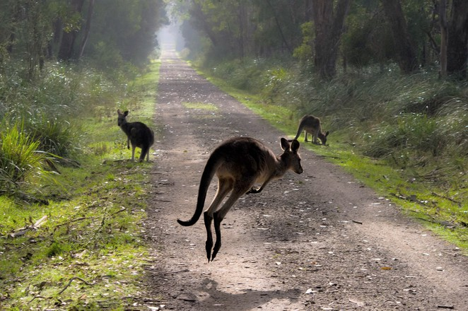 Kangaroos,Kangaroos in Melbourne,Kangaroos in the wild,Where to take visitors in Melbourne,Where to find kangaroos in Melbourne,Where to find wild kangaroos in Melbourne,Weekend getaways Melbourne,Bushland near Melbourne,National parks near Melbourne,Where to take overseas visitors in Melbourne,Woodlands Historic Park,Sugarloaf Reservoir,Cardinia Reservoir,Lysterfield Lake,Churchill Park,Greens Bush,Plenty Gorge,Westerfields Park,Greswell Forest,