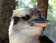 kookaburra, royal national park