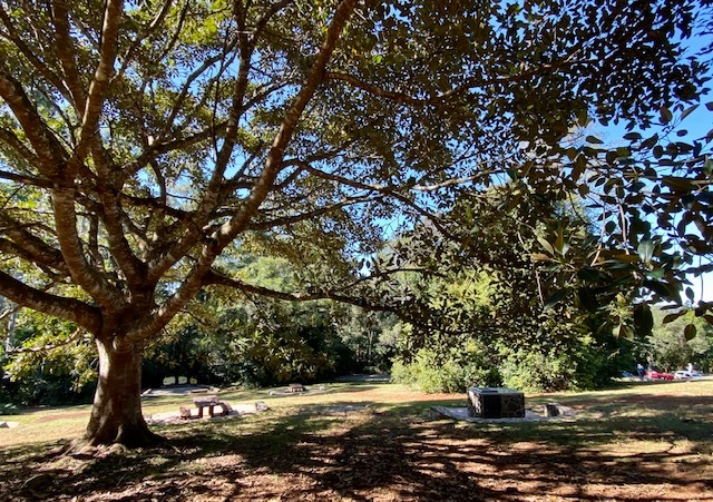 Stunning fig tree between picnic tables and BBQs