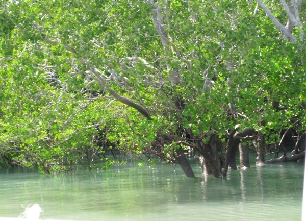 Mangrove,trees,in,Darwin
