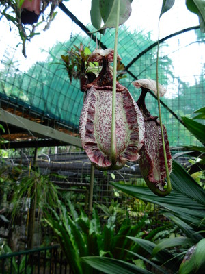 Nepenthes, cairns botanic gardens, flecker botanical gardens