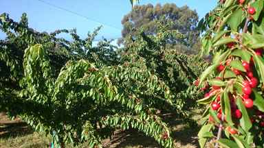 cherries, pick your own, Fleurieu, orchards