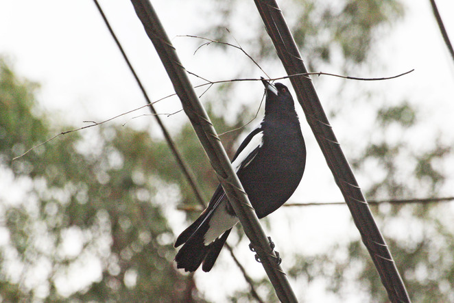 magpie with twig.