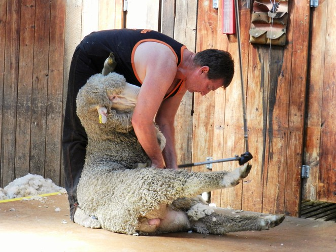 mechanical shears, shearer, shearing clippers, frederick wolseley, farming inventions, sheep sheraing, australian inventions, australian inventors, farming inventors,