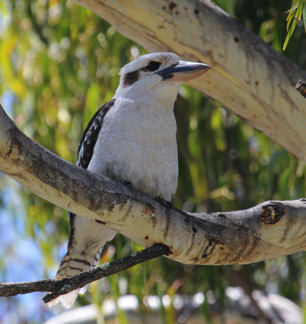 South Australian wildlife, South Australian tourism, Wildlife photography Wildlife stories, Burnside, Second Creek,kookaburra