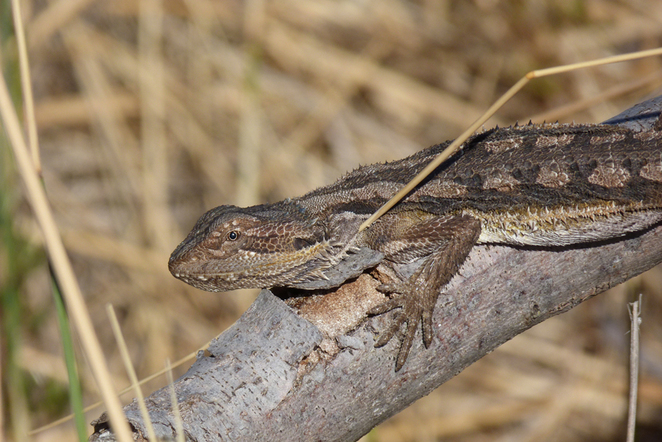 South Australian wildlife, wildlife photography, South Australian tourism, Adelaide tourism, Adelaide wildlife, South Australia nature, Semaphore, underwater, beach, bearded dragon