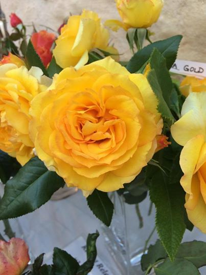 The glorious roses for sale