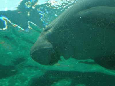 A dugong as seen from underwater