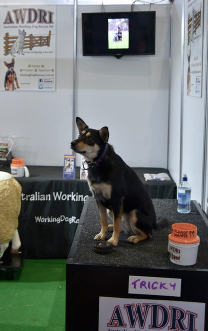 Adopt a Retired Working Cattle Dog, Pet Pavillion, Sydney Royal Easter Show, animal shows,