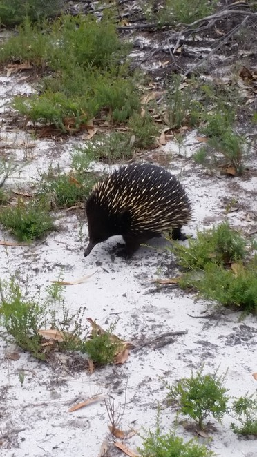 Echidna the Lakes National Park.