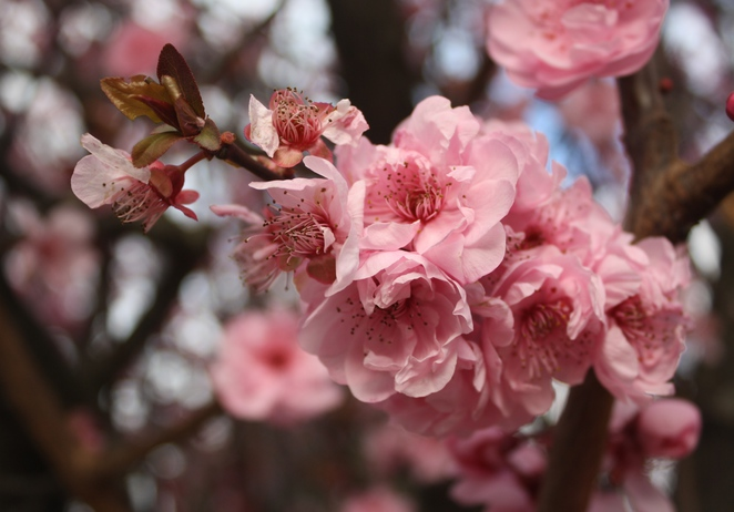 Double Pink Flowering Plum or Prunus Blieriana.