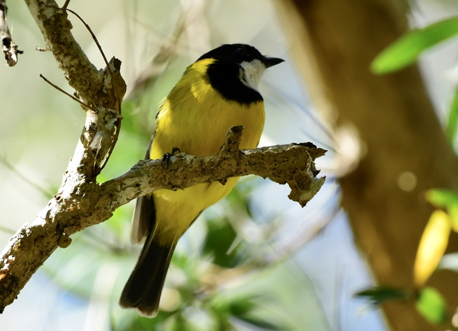 The call of golden whistlers is often heard in the Noosa Everglades