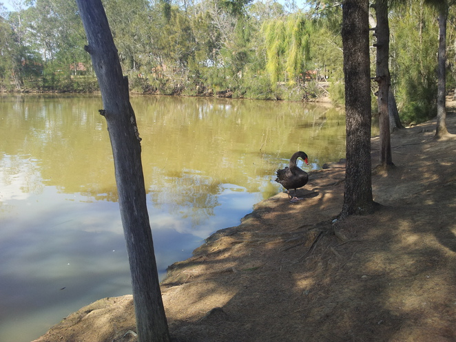 maluga passive park, pond, riparian vegetation, black swans