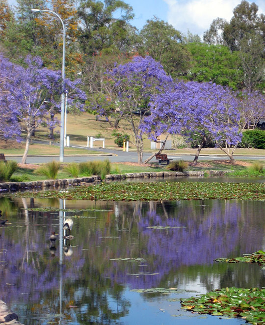 Jacarandas at the University of Queensland