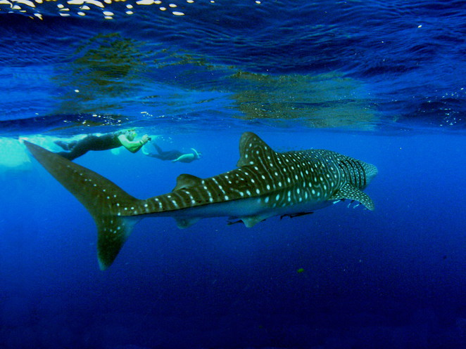 whale shark, whaleshark, exmouth, north west cape, cape range, yardie creek