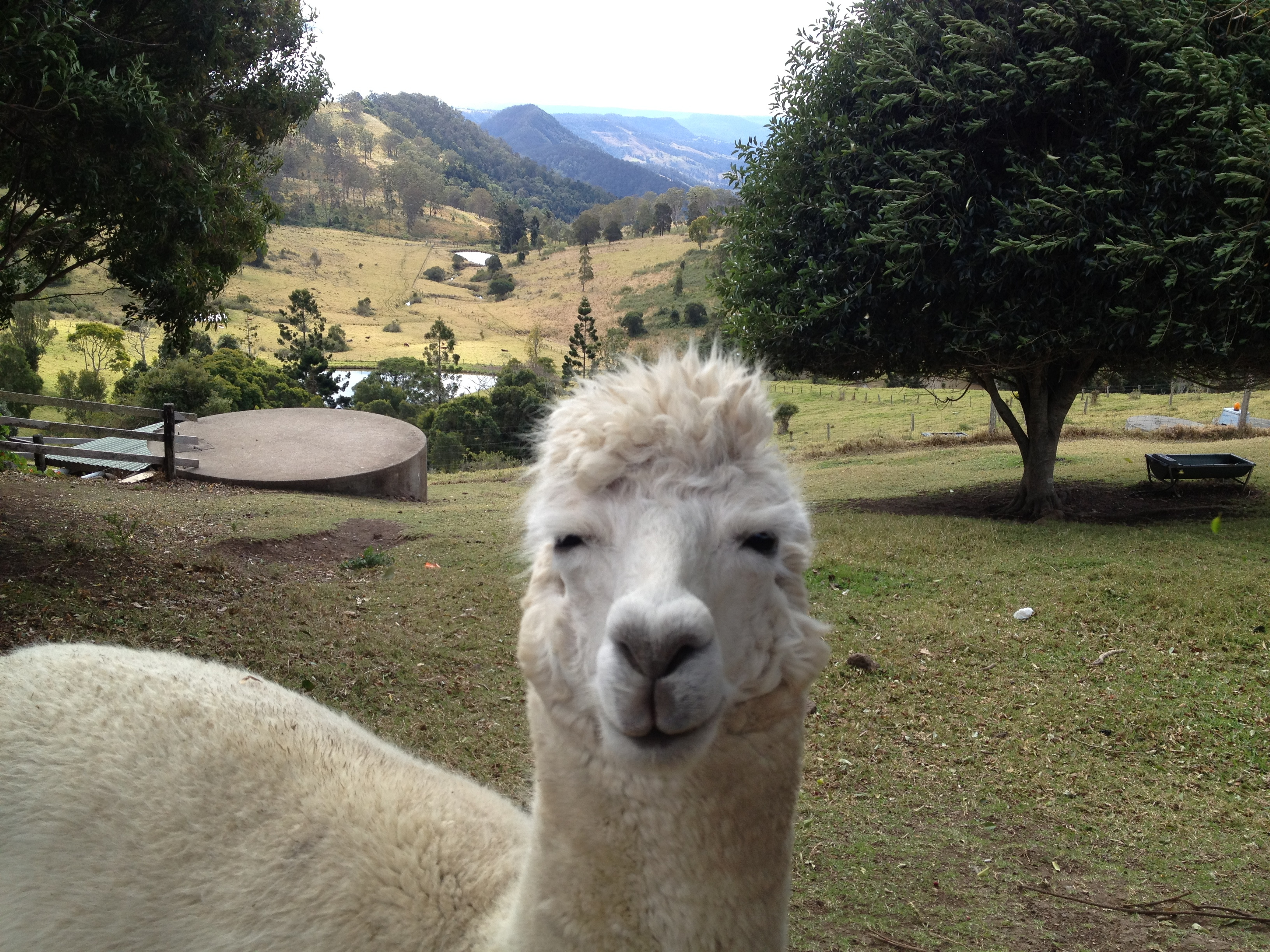 Mountview alpaca farm brisbane for Alpaca view farm cuisine