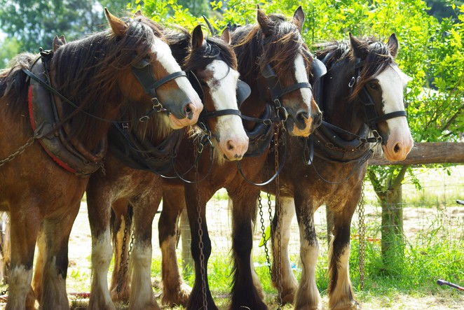 Australian Draughthorses at work and play