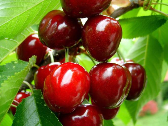 platinum ridge cherries