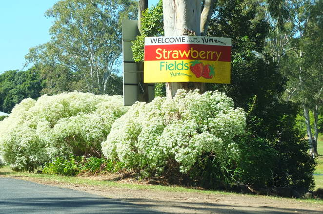 Strawberry Fields, pick your own, June to November, winter fruit, Cobb & Co route, Laxton Road, Palmview, opposite Aussie World, Carmichael Family, educational tours for school groups, vacation care outings, birthday parties, tractor playground, sausage sizzle on Saturdays and Sundays, strawberry ice-cream, pancakes, strawberry mementoes, gifts, you have a berry nice day