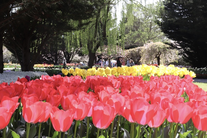 Tulip Top gardens, where to see tulips canberra, things to do canberra, canberra spring events, spring flowers canberra, what to do in Canberra, Canberra day trips