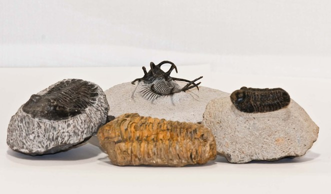 Trilobites from Morocco