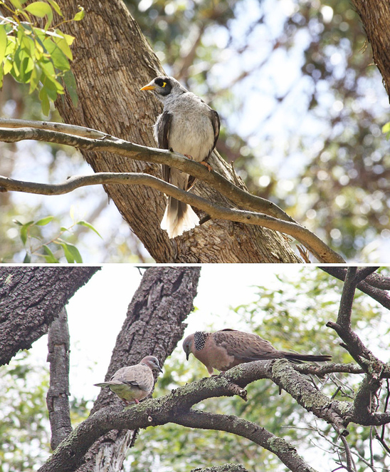 spotted dove & noisy miner.