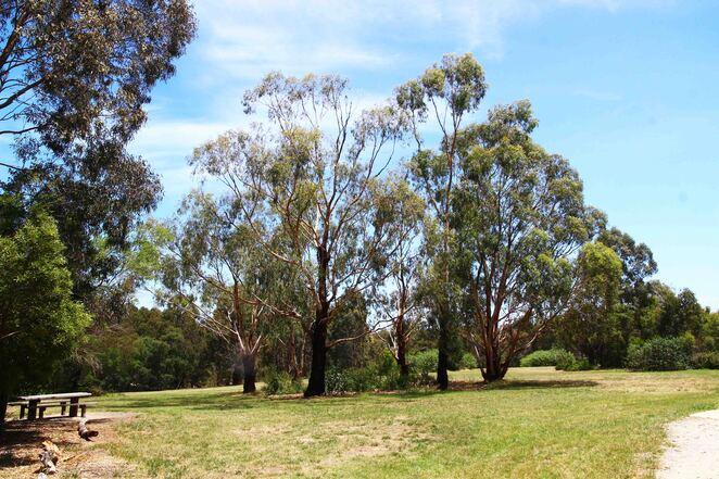 stand of gum trees.